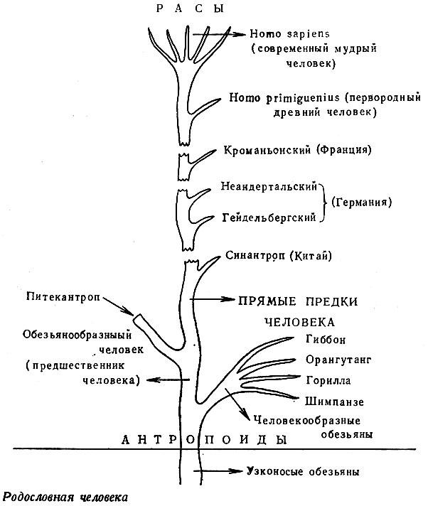 Родословная человека по биологии схема