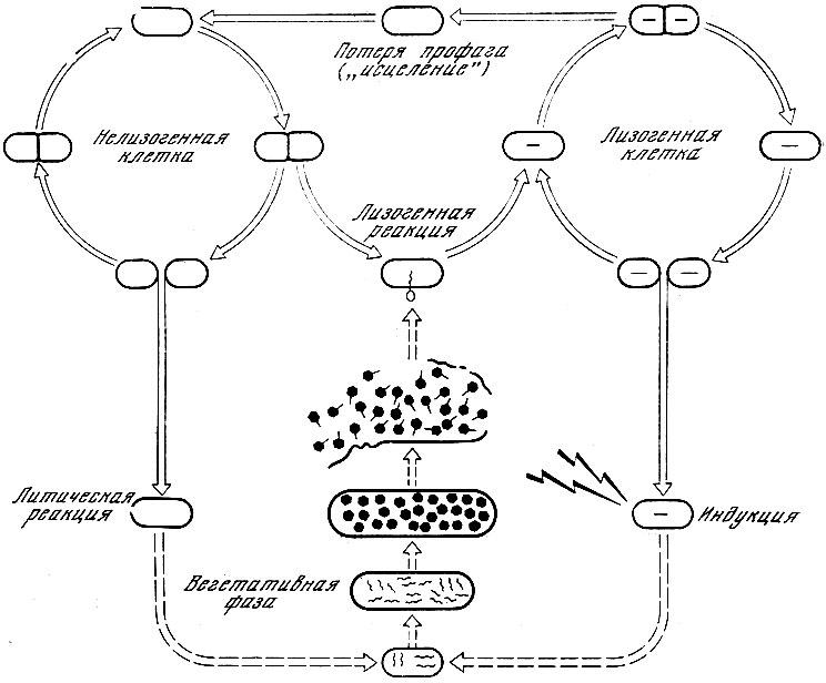 Общая схема лизогении (по А.