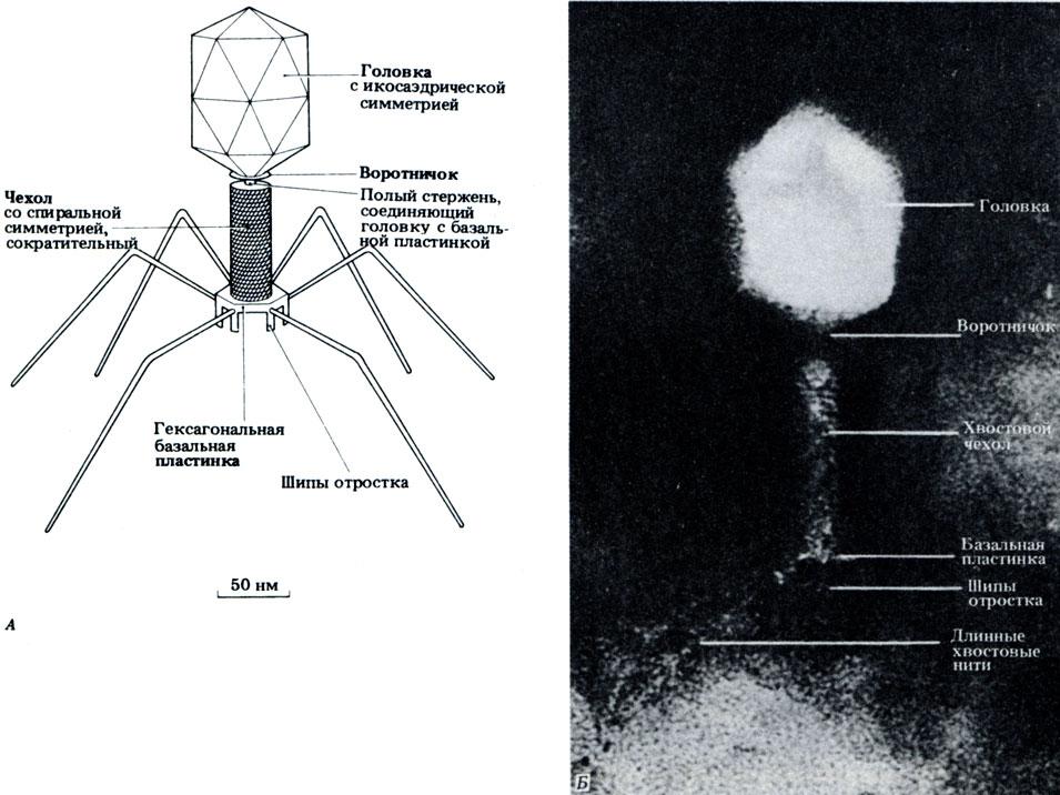 А Строение бактериофага.