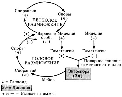 жизненного цикла Rhizopus