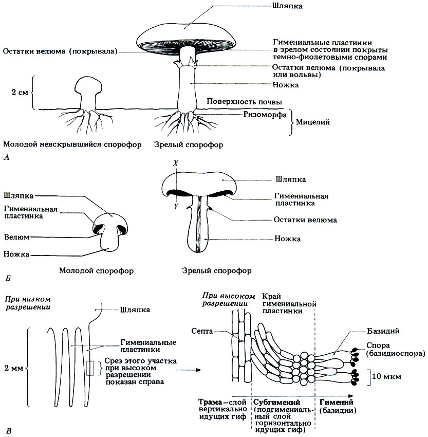 Культивируемый гриб Agaricus