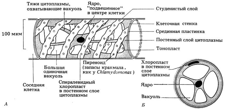 Строение Spirogyra.