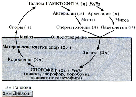 Схема жизненного цикла Pellia