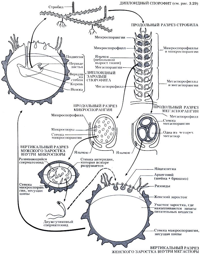 Жизненный цикл Selaginella