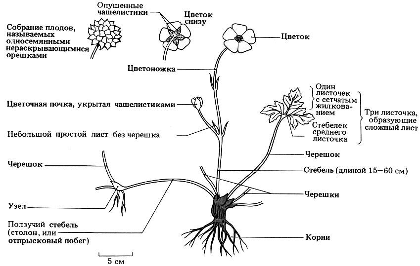 Строение цветка и вегетативных