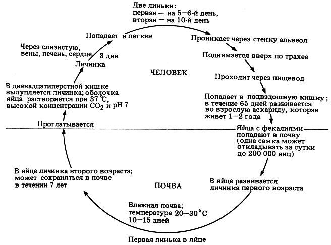 Жизненный цикл Ascaris