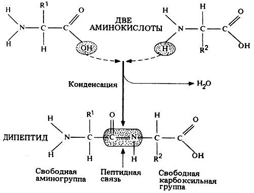 образование дипептидов из аминокислот очистки топливного агрегата