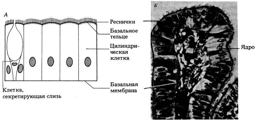 Эпителий Плоский