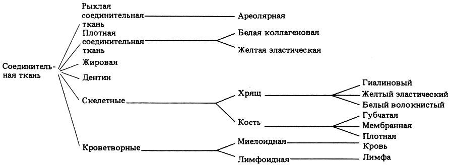 Соединительная ткань животн.