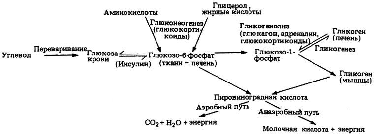 Общая схема углеводного обмена