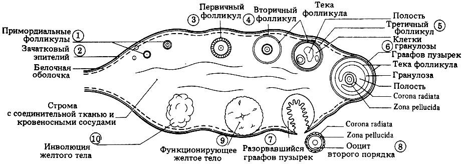 Схема яичника женщины (в