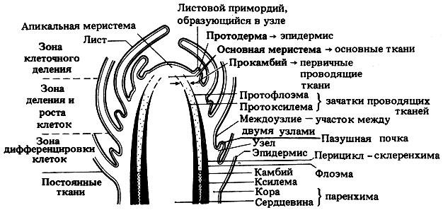 двудольного растения (в