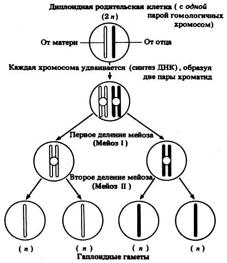 Схема основных этапов мейоза