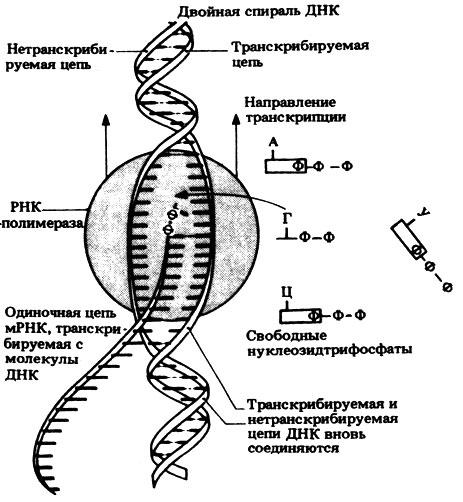 Схема механизма транскрипции.
