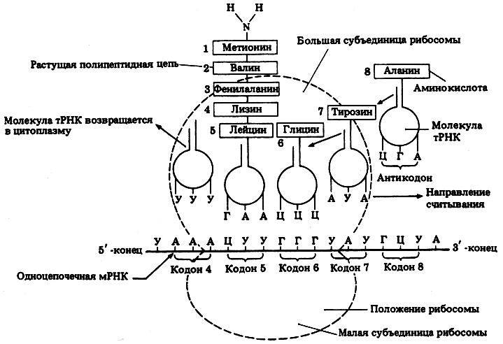 Трансляция схема трансляции этапы трансляции фото 155