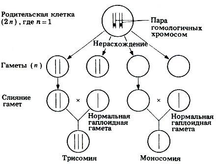 Нерасхождение хромосом при