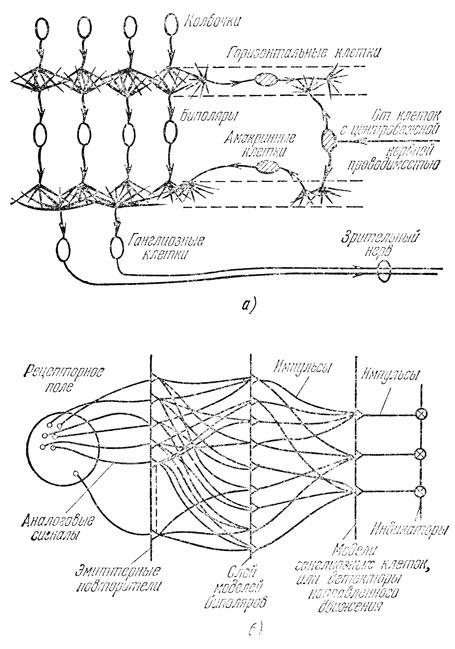 Грубая анатомическая схема