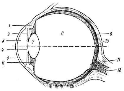 Схема строения глаза человека.