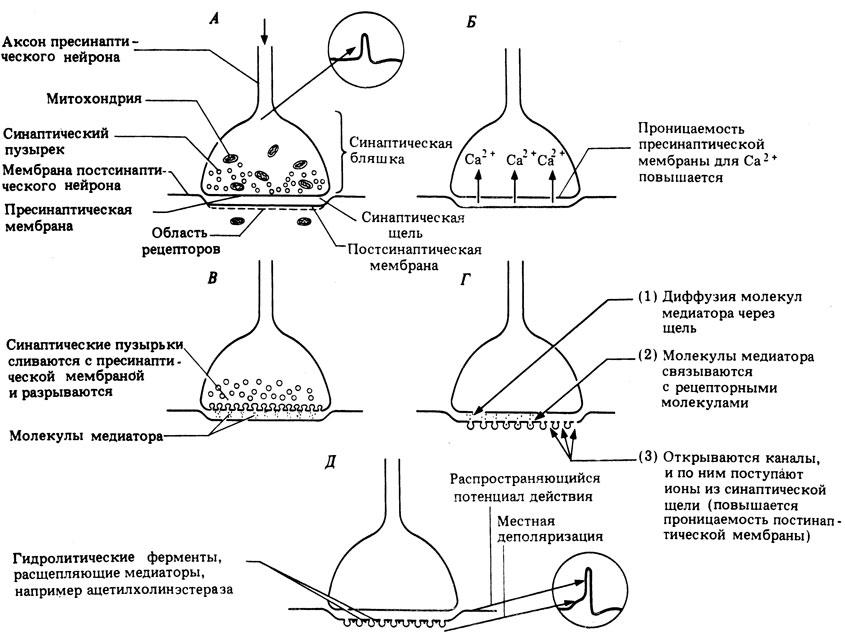 Схема саморегуляции выделения медиатора в адренергическом синапсе