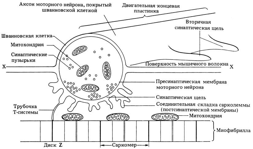 Схема строения двигательной
