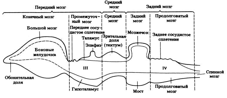 Схема строения мозга