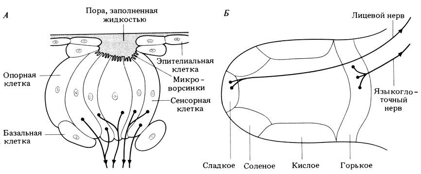 А. Схема строения вкусовой