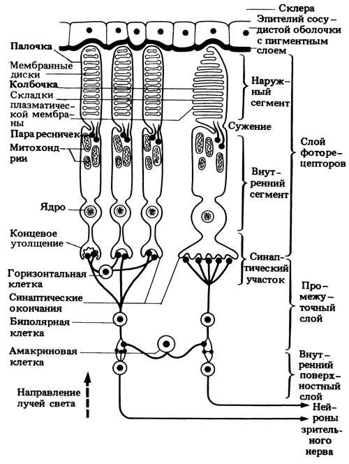 Схематический разрез сетчатки