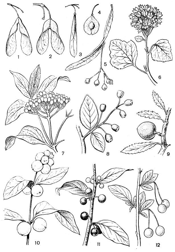 плоды липы зимой
